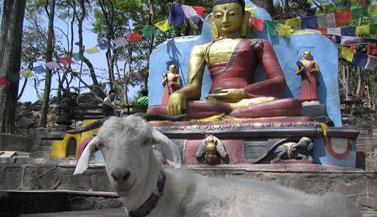 goat-with-buddha-swayambhu