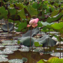 lotus-flower-in-water-pond