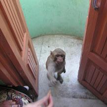monkey-in-india