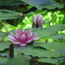 inspiration-lotus-flowers