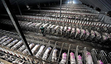 intensive-farming-cruelty